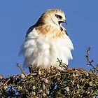 2014 Juvenile Black Shouldered Kite  Canberra Australia  1 by Kym Bradley