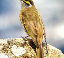 Yellow Faced Honeyeater Canberra Australia  by Kym Bradley