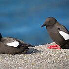 Guillemots  by Rob Hawkins