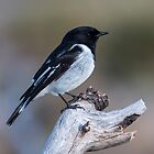 Male Hooded Robin Canberra Australia  by Kym Bradley