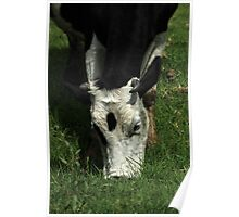 Black and White Cow Grazing Poster