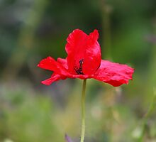 Red Poppy II by GreyFeatherPhot