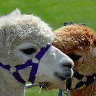 Alpaca  At Uplyme Devon Fair............. by lynn carter