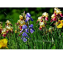 Field of Iris Photographic Print