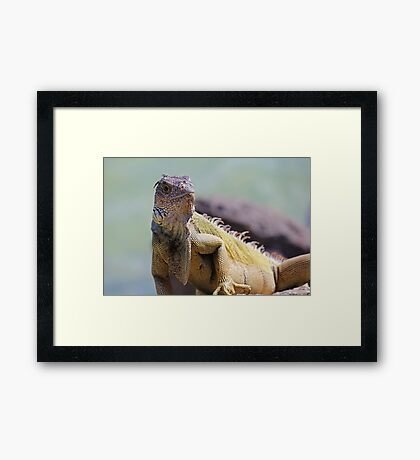 Young Adult Green Iguana Framed Print