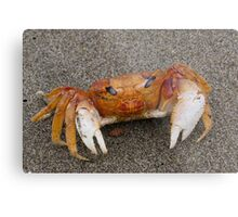 Crab on the Pacific ocean beach at Mollendo in southern Peru Metal Print