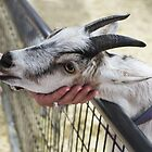 Sweet Billy Goat, Hand Fed! by heatherfriedman