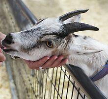 Sweet Billy Goat, Hand Fed! by heatherfriedman