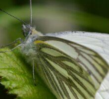 Macro shot of a Green Veined Butterfly Sticker