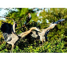 Great Blue Herons in Battle Photographic Print