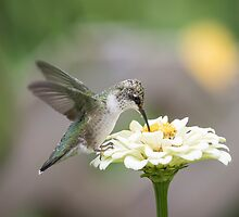 Hummingbird 2016-2 by Thomas Young