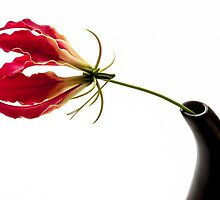 Gloriosa Lily by prbimages