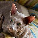 Farida the lilac Oriental cat by Odille Esmonde-Morgan