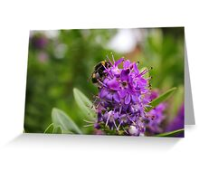 White-Tailed Bumblebee on purple flowers Greeting Card