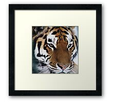 Siberian Tiger - unique photo design apparel and gifts Framed Print