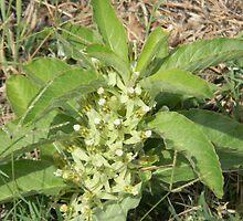 Longhorn Milkweed, Zizotes Milkweed by Navigator