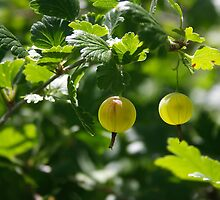 Ripe gooseberries by Maryna Gumenyuk
