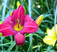 Daylily Series - No. 1 by Carol Clifford