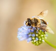 hoverfly on blue flower by stresskiller