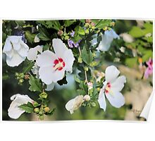 White Hibiscus Blossoms Poster