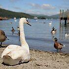 Lake Swan by Paul Gibbons