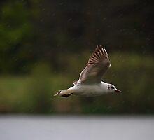 Gull flying in rain by Violaman