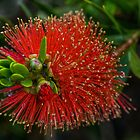 Albany Bottlebrush. by Bette Devine