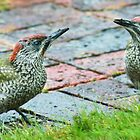 Juvenile green woodpeckers by missmoneypenny