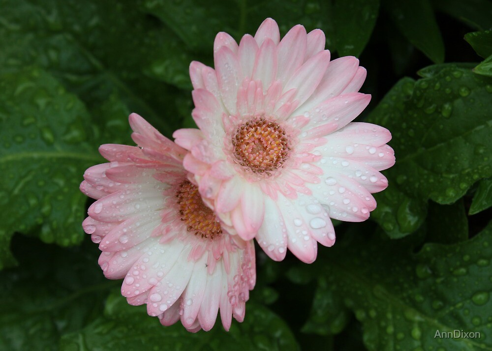 Pale Pink Gerbera by AnnDixon