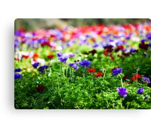 A field of cultivated colourful and vivid Anemone flowers. Photographed in Israel Canvas Print
