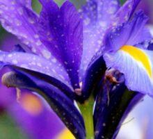 Colorful Iris Sticker