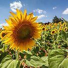 Sun Flowers by Trevor Middleton