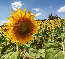 Sun Flowers by Trevor Middleton