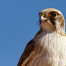 Brown Falcon by Blue Gum Pictures