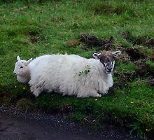 Roadside Resting Place Isle of Mull -  Scottish Black-Face Sheep by Leslie-Ann