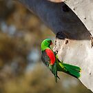 Red Winged Parrot by Blue Gum Pictures