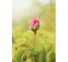 Rosebud on the Branch in the Garden Photographic Print