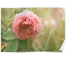 Close up photo of a pink rose Poster