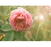 Close up photo of a pink rose Photographic Print