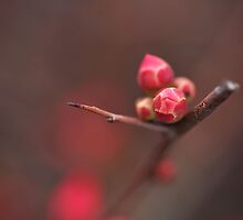 Flowering Quince in Bud by Joy Watson