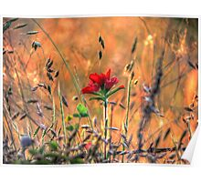 Indian Paint Brush at Sunset Poster