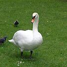 Irish Swan by stormygt