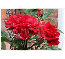 Miniature Red Roses Poster
