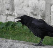 Crowing in Blackheath Sticker