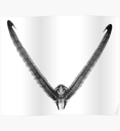 X-ray of a skull of an Ibex on white background  Poster