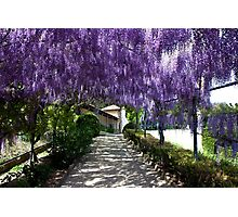 Canopy of Wisteria Photographic Print
