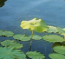 Lonely Lily Pad by rose8snow