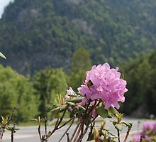 Pink Flower in Austrian Alps by ashleylkunze