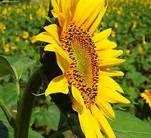 Sunflower Crop by WildestArt