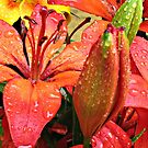 Orange Lilies and Buds with Raindrops by BlueMoonRose